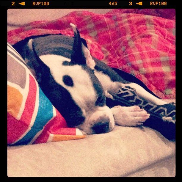 Bugdog Sleeping Banner Image
