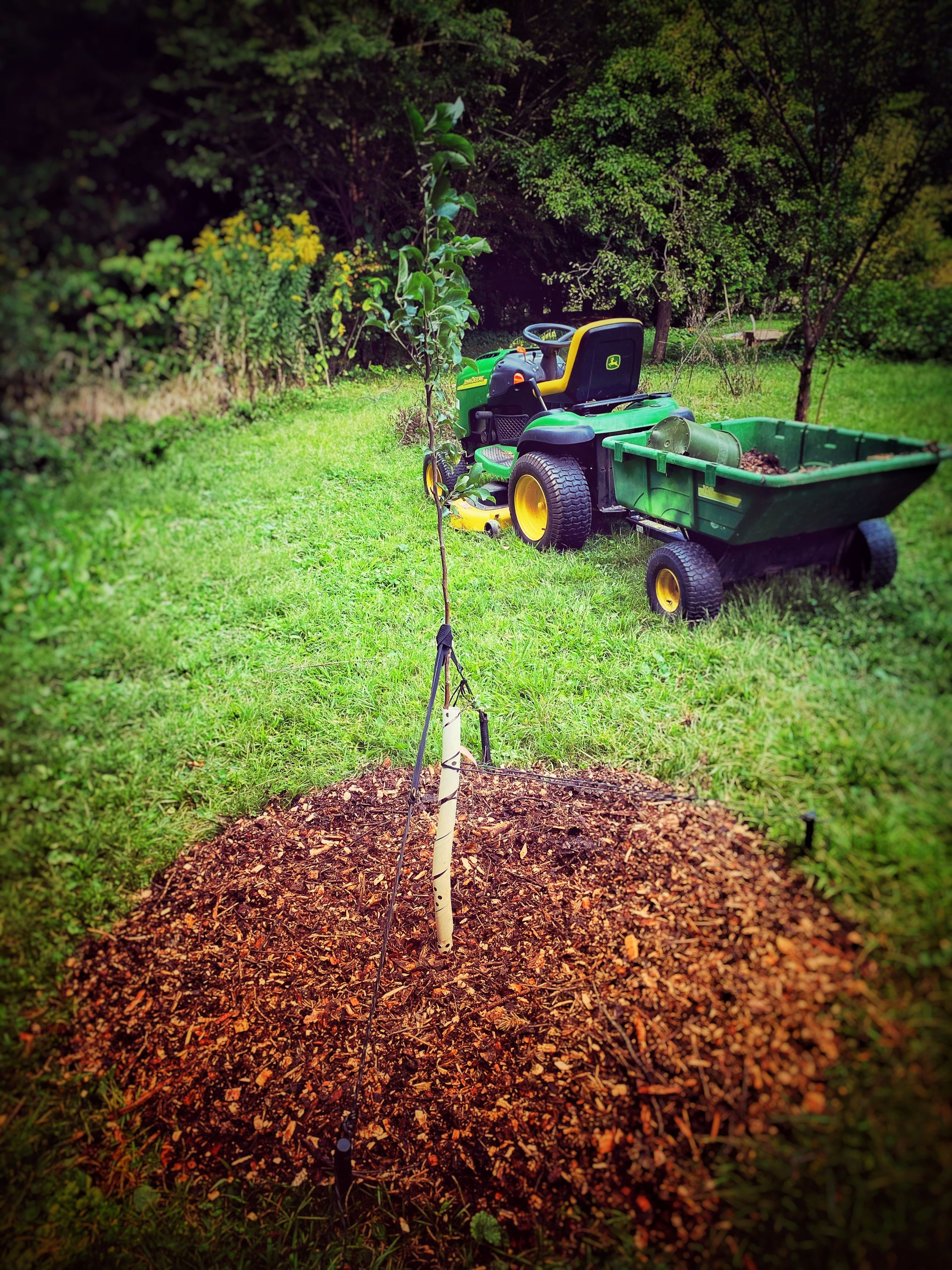 A sapling apple with recently applied wood mulch. A residential mower/tractor is in the background.