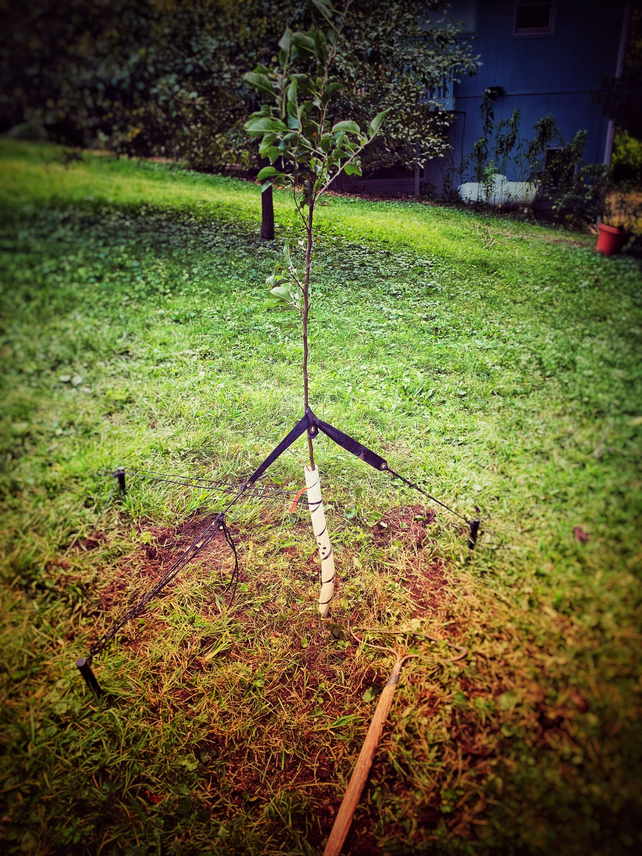 An apple tree sampling with the ground around it scraped and hoed.