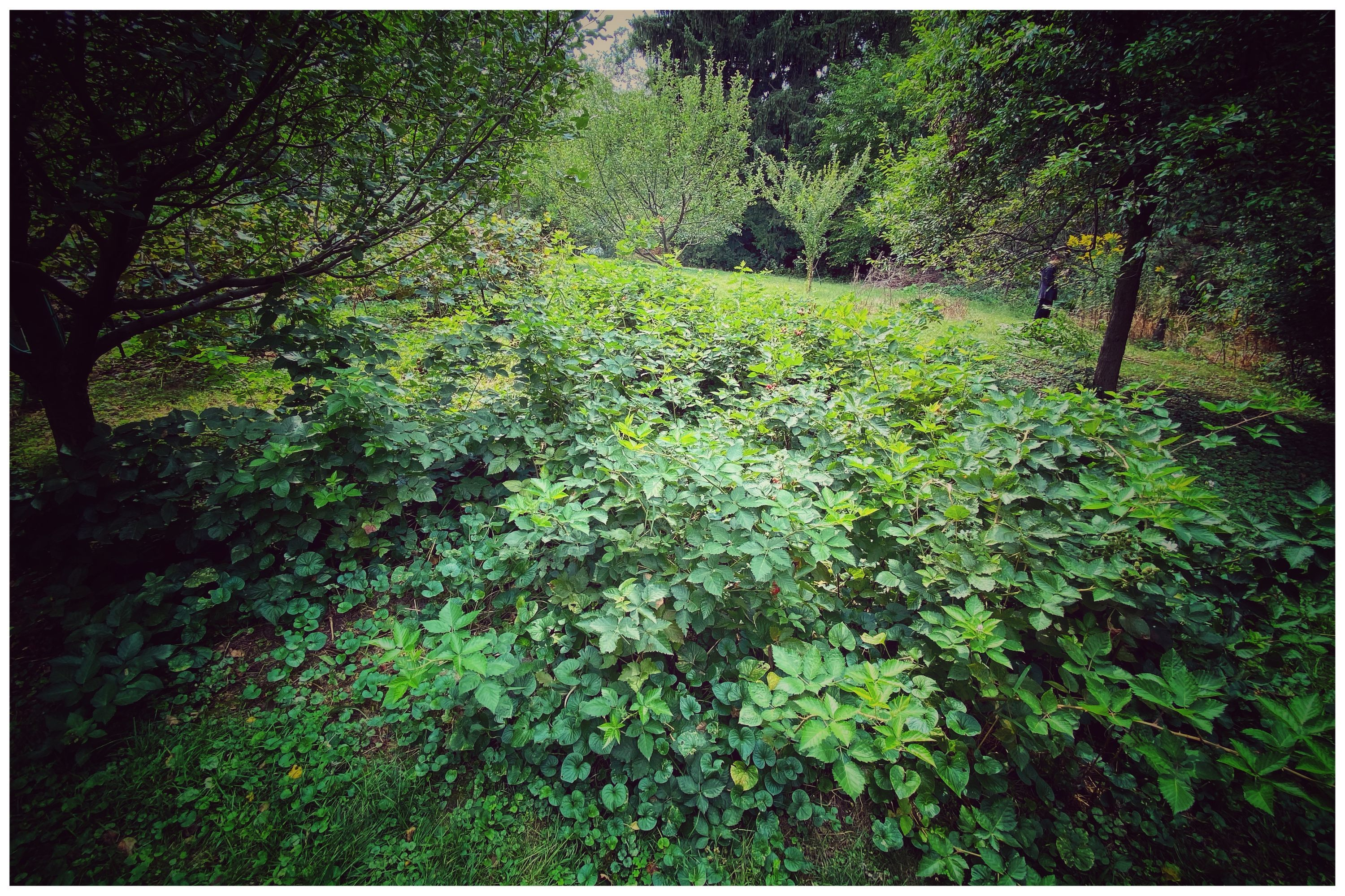BlackBerry patch which has overrun its boundaries. 15 by 15 feet.