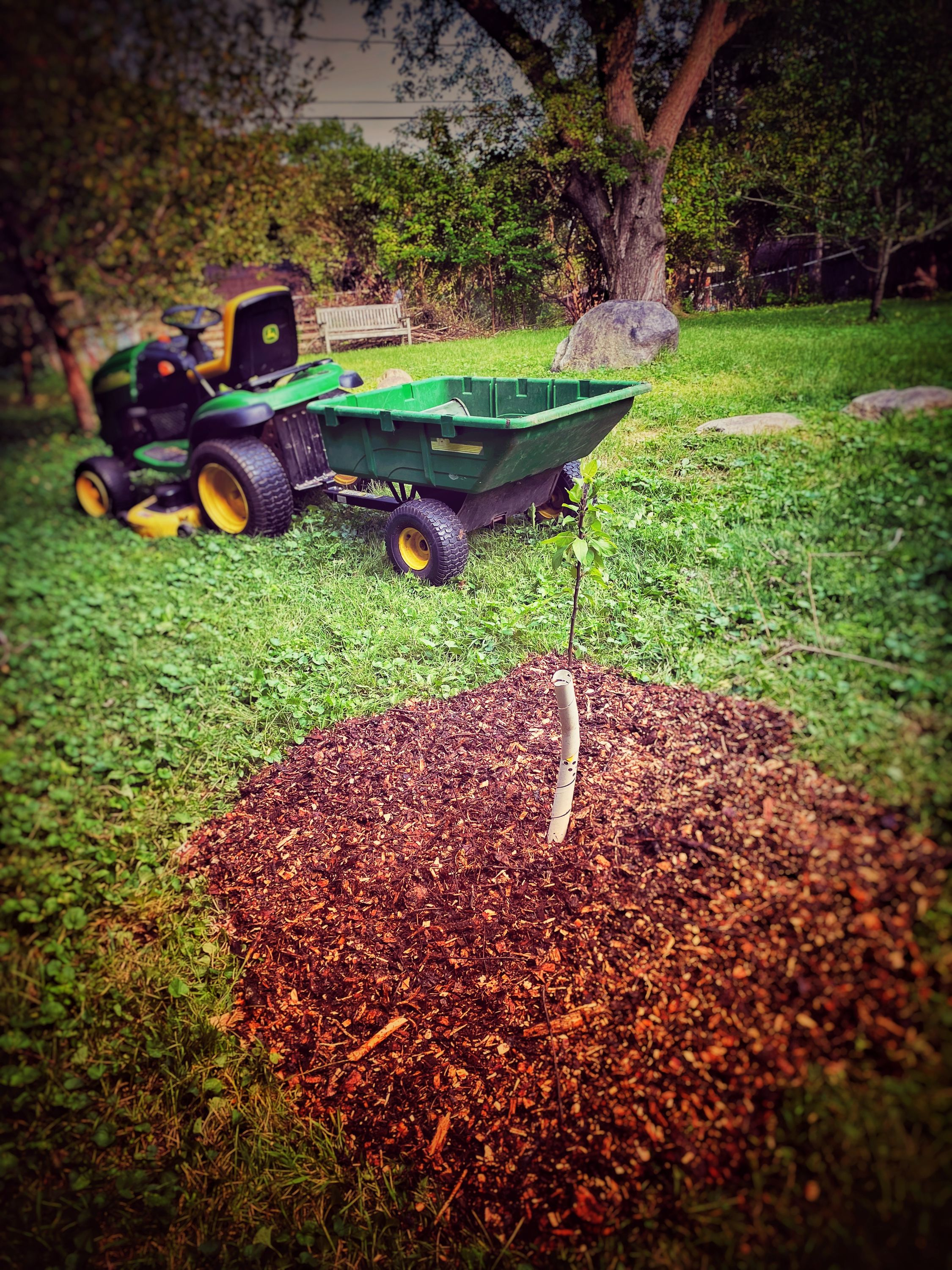Another sapling with completed sheet mulching