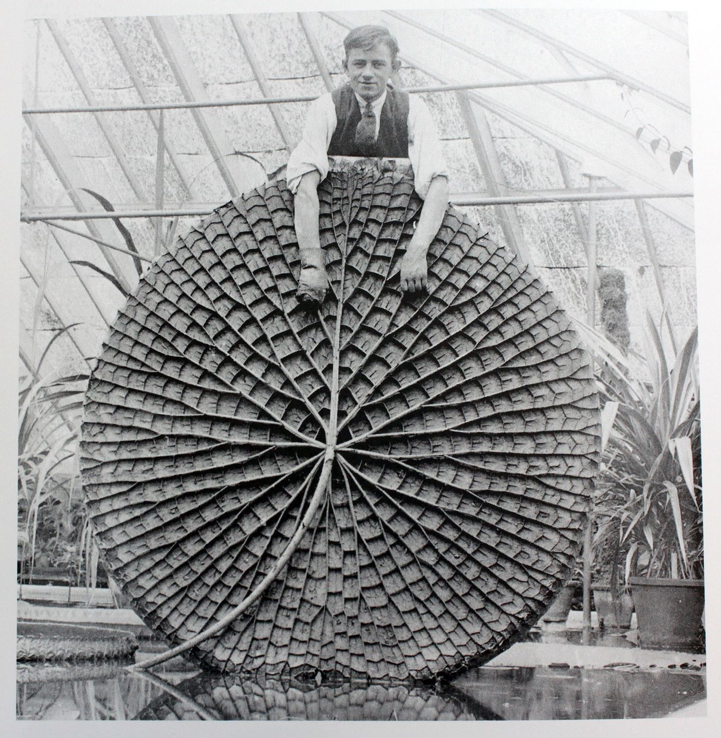 Joseph Paxton photographed with a fine specimen of the Victoria amazonica leaf inside a greenhouse at Chatsworth House