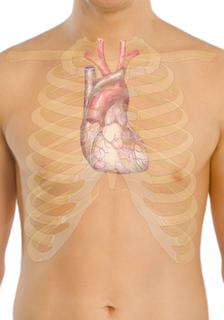 Surface_anatomy_of_the_heart.png