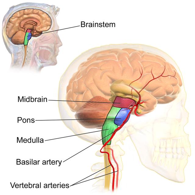 Blausen_0114_BrainstemAnatomy.png