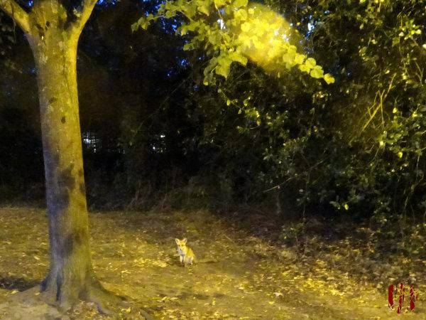 A fox sits watching me clear litter in Horsham park.