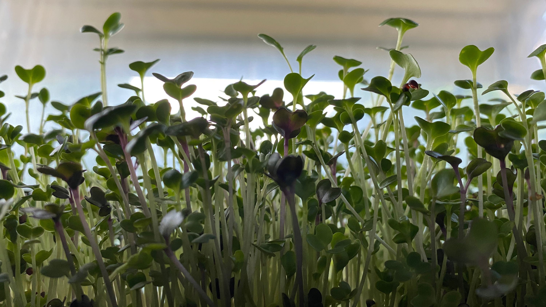 microgreens in window box