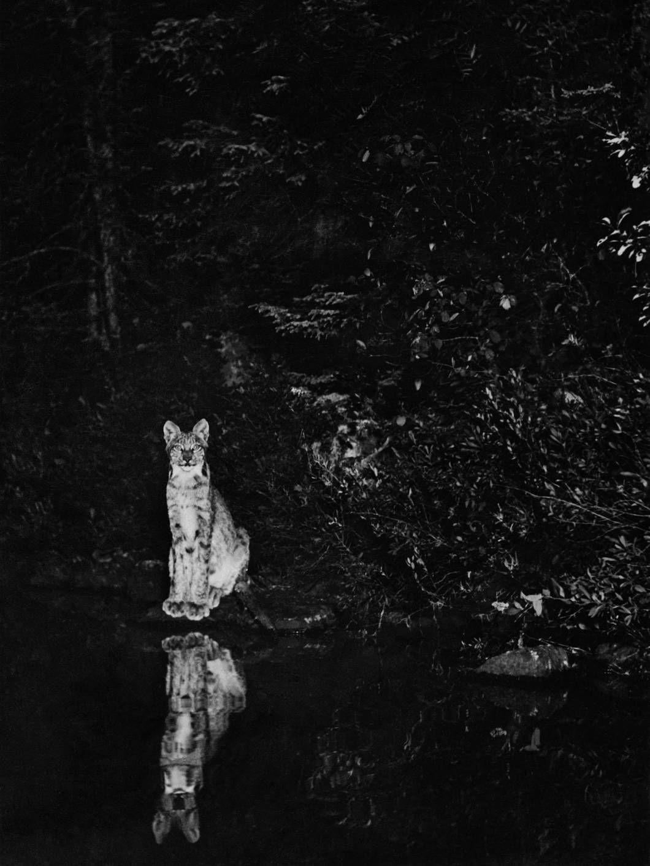 Ceci n'est pas un lolcat, mais un lynx qui en jette un max