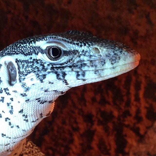 more lizards 49002490842 o