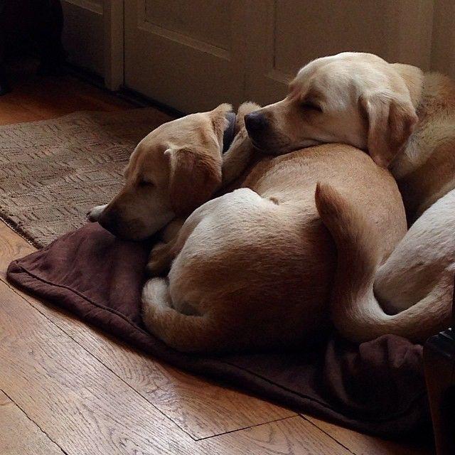 two sleepy labs 49001758193 o