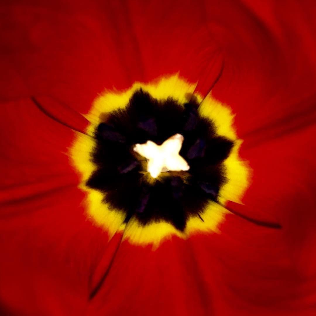 tulip   flower  tulip 49002491427 o