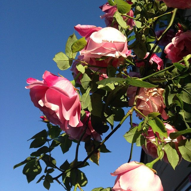 our climbing rose in the evening sun 49002473612 o