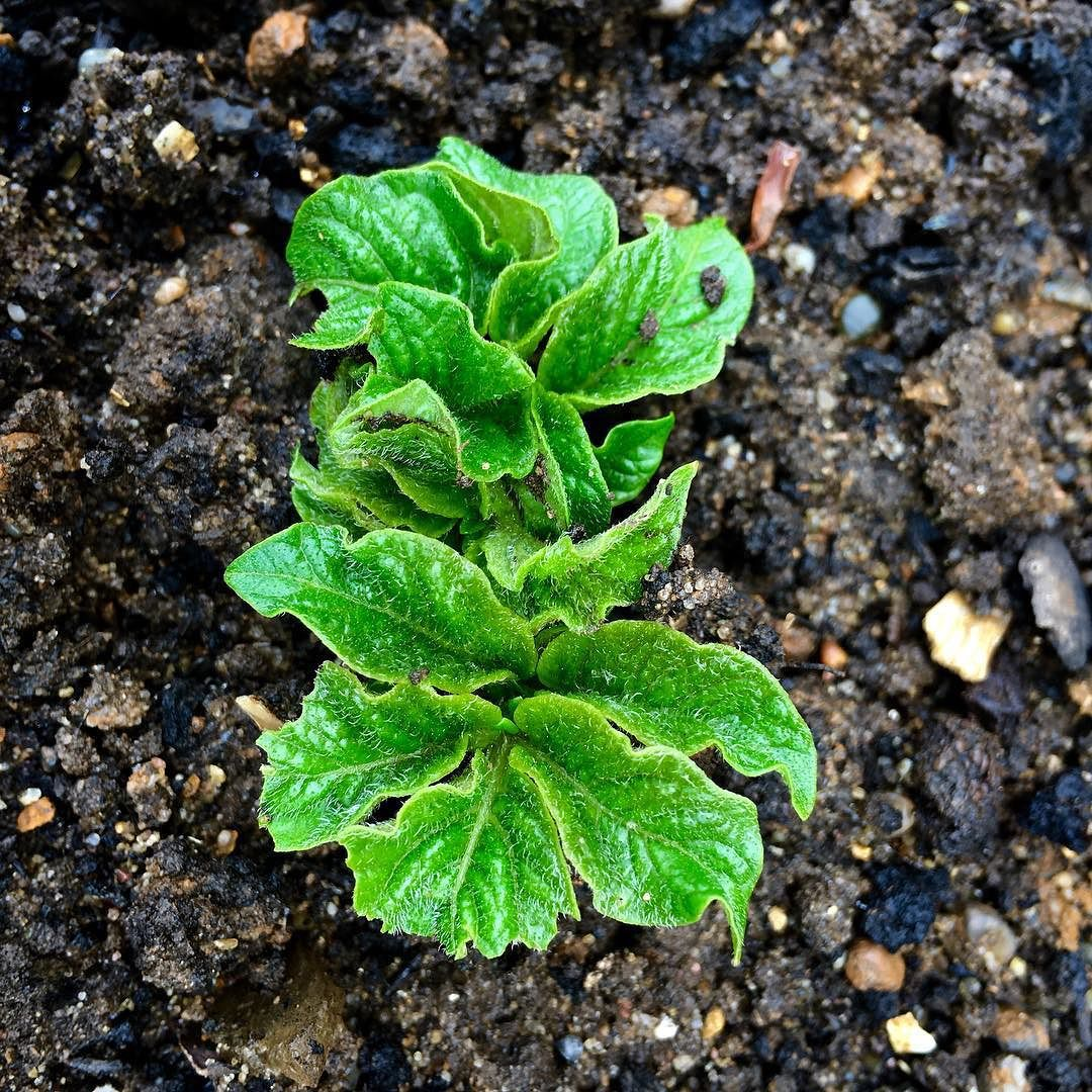 spuds are emerging time to earth up 49002489727 o