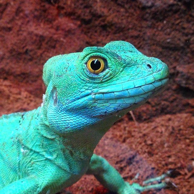 lizard says hi  lizards 49002500697 o